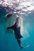 Whale shark — Stock Photo