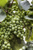 Grapes on the branch — Stock Photo