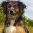 Stock Photo: Dog in glasses on the landscape