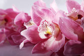 Pink orchid closeup — Stock Photo