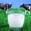 Cows on meadow with cup of milk — Stock Photo