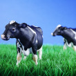 Cows on meadow — Stock Photo #28512695
