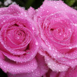 Wet pink rose — Stock Photo #28512721