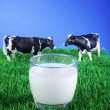 Cows on meadow with cup of milk — Stock Photo #28512767