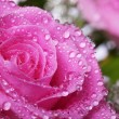 Wet pink rose — Stock Photo #28513131