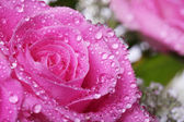 Wet pink rose — Stock Photo