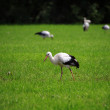 Cranes on meadow — Stock Photo