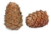 Cedar cone — Stock Photo