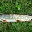 Pike on a grass - Stock Photo