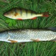 Perch and a pike on a grass - Stock Photo