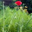 Flowering of a poppy — Stock Photo