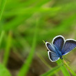 Royalty-Free Stock Photo: Blue Butterfly