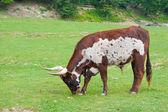 Watusso ox — Stock Photo