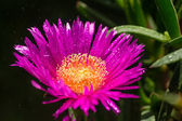 Hottentot fig — Stock Photo