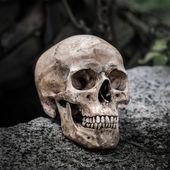 Still life skull — Stok fotoğraf