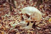 Natürmort kafatası — Stok fotoğraf