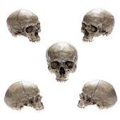 Cráneo aislado — Foto de Stock
