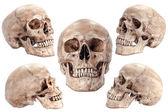 Skull model — ストック写真