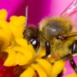 A little bee landing on a flower, collecting pollen - pink petals in the background - Stock Photo