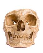 Bone-head — Stockfoto