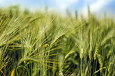 Wheat closeup — Stock Photo