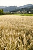 поле пшеницы — Стоковое фото