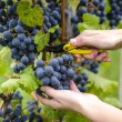 Grape harvesting — Stock Photo #39136117