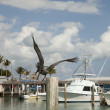Stock Photo: Pelican flying by the marina
