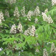 Horse chestnut foliage and flowers background — Stock Video