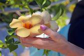 Golden allamanda flower — Stock Photo