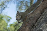 Cautious squirrel eating stretched on a trunk — Stock Photo