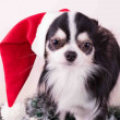 Royalty-Free Stock Photo: Dog chihuahua, Christmas, Dog, Humor, Santa Hat