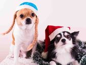 Dog chihuahua, Christmas, Dog, Humor, Santa Hat — Stock Photo