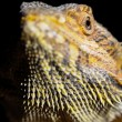 Pogona vitticeps (bearded dragon) head — Stock Photo