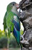 Green/Blue Parrot — 图库照片