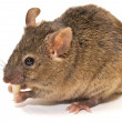 House mouse (Mus musculus) - Foto de Stock
