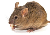 House mouse (Mus musculus) — Stockfoto