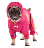 A clothed pug — Stock Photo