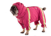 A clothed pug 2 — Stock Photo
