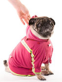 A clothed pug 3 — Stock Photo