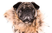 Funny Pug — Stock Photo