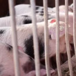 Gloucestershire Old Spots.Piglets in a Farm with White with Black spots. — Stock Video #26005991