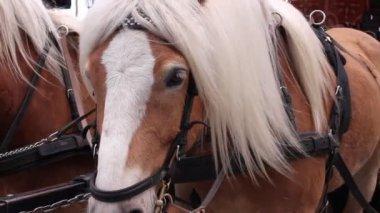 Primo piano di un cavallo a fissare la fotocamera — Video Stock