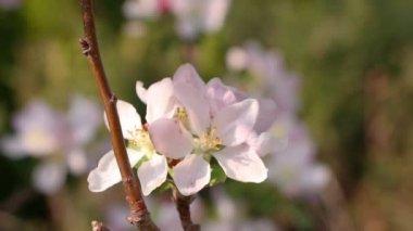 Frau ist eine apfelblüte, closeup riechen — Stockvideo