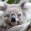 Portrait of koala — Stock Photo