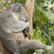 Sleeping koala — Stock Photo