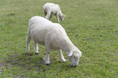 Sheep on the grass — Stock Photo