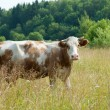 Brown cow — Stock Photo #13897185
