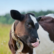 Cow with tongue — Stock Photo #13897352