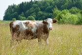 Brown cow — Foto Stock